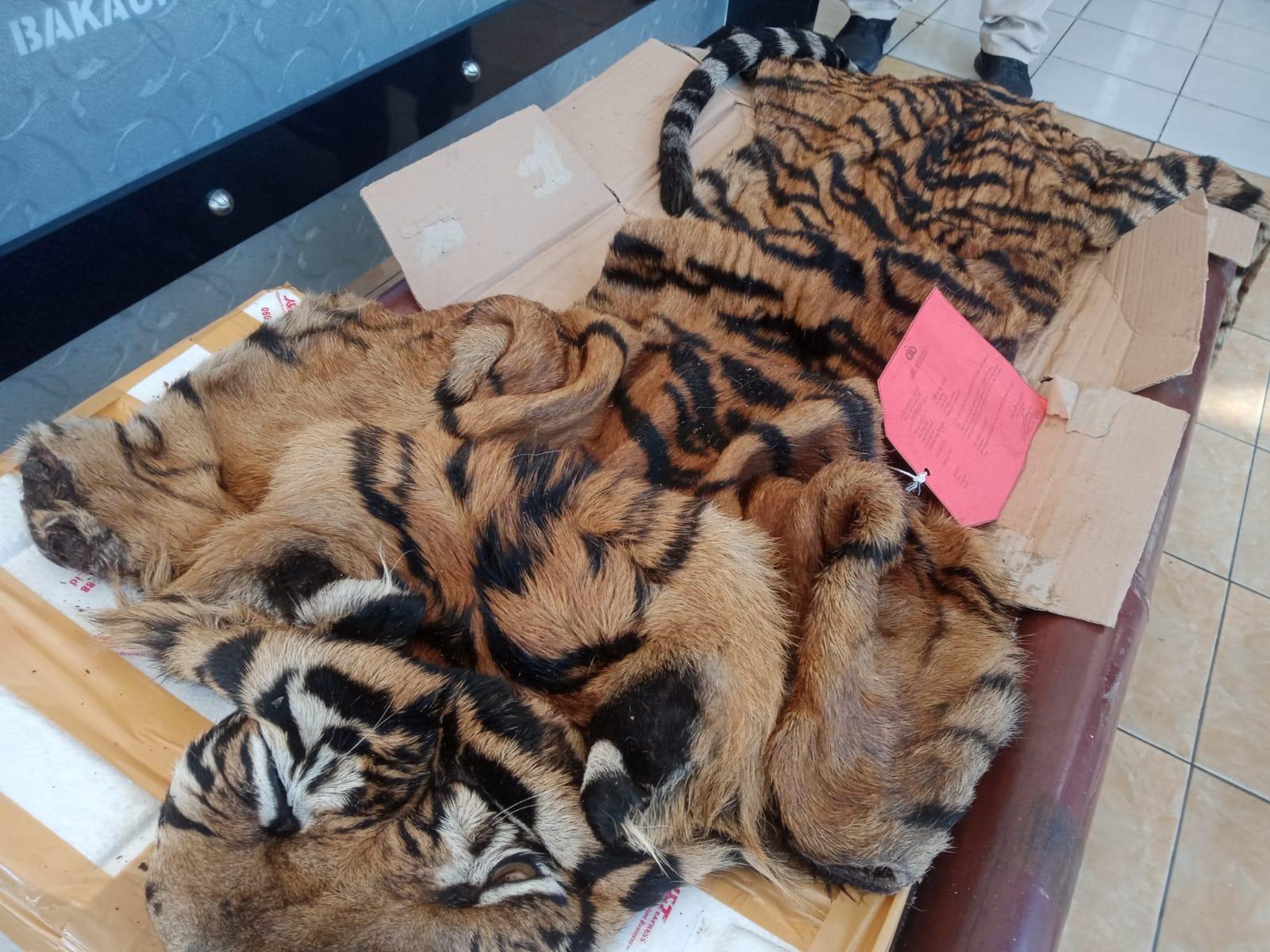 Barang bukti kulit Harimau.